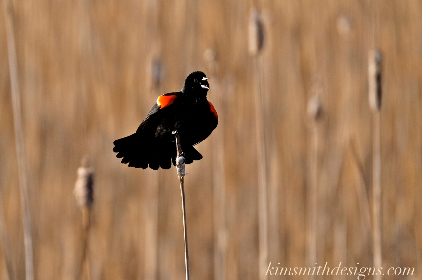 red-winged-blackbird-male-kimsmithdesigns-com