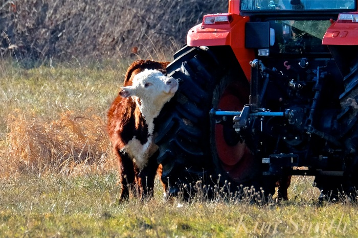 seaview-farm-tractor-and-cow-2-copyright-kim-smith