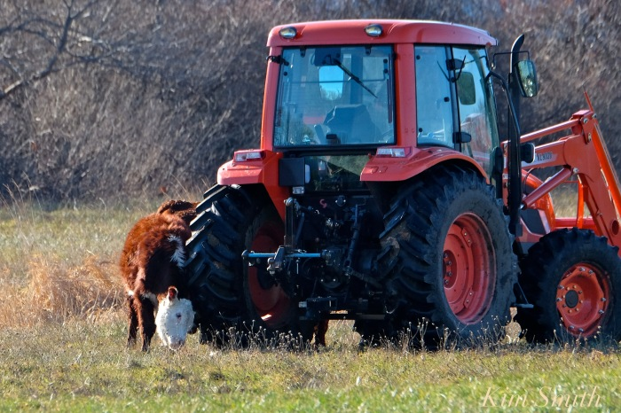 seaview-farm-tractor-and-cow-copyright-kim-smith
