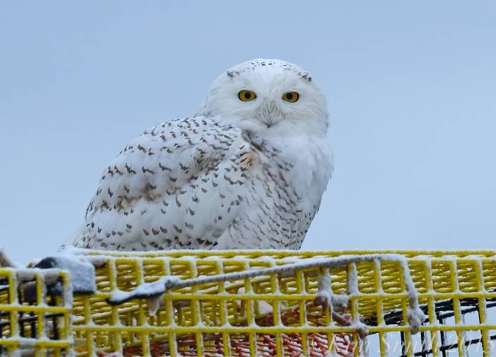 snowy-owl-gloucester-massachusetts-c2a9kim-smith-2015