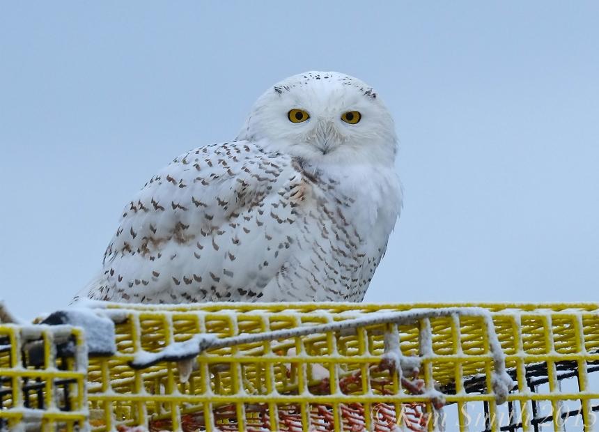 snowy-owl-gloucester-massachusetts-c2a9kim-smith-2015