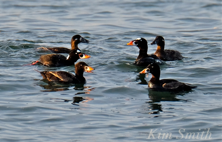 surf-scoter-cape-ann-massachusetts-male-female-2-kim-smith