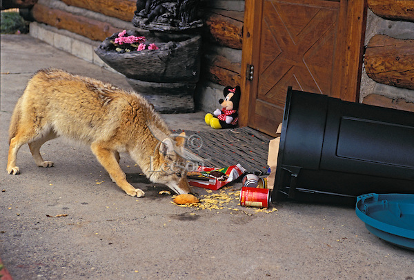 COYOTE raiding garbage can left outside house. Rocky Mountains. (Canis latrans).