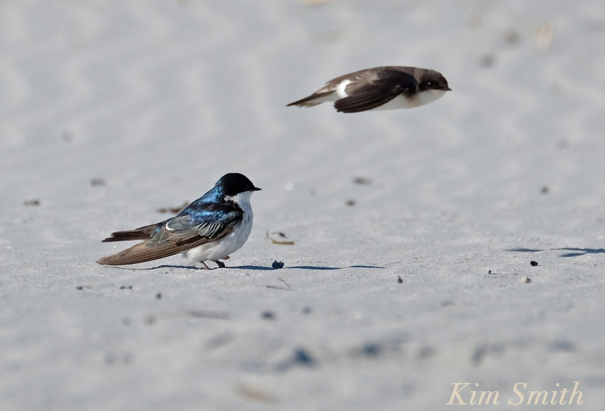tree-swallows-male-female-copyright-kim-smith