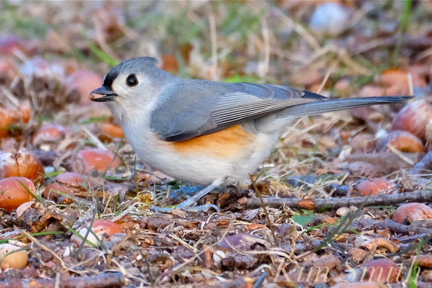 tufted-titmouse-copyright-kim-smith