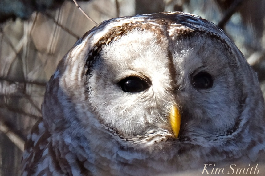 barred-owl-eyes-strix-varia-copyright-kim-smith
