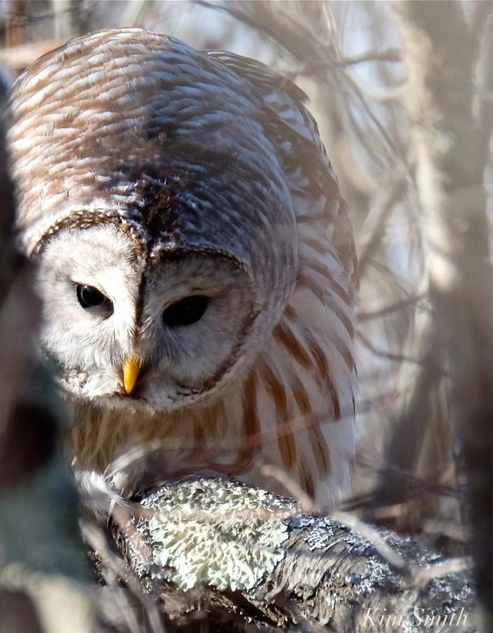barred-owl-hunting-strix-varia-copyright-kim-smith