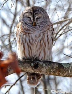 barred-owl-sleeping-copyright-kim-smith-copy
