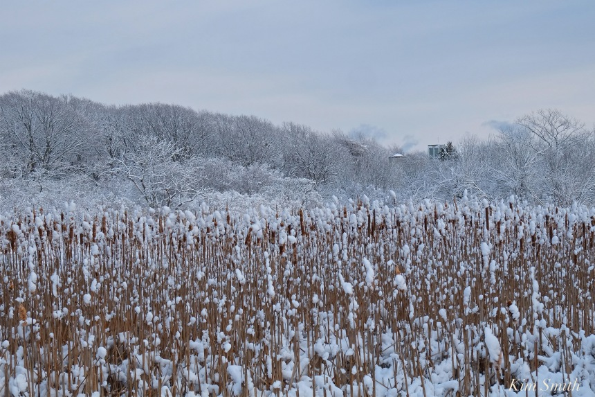cattails-eastern-point-marsh-gloucester-snowy-daycopyright-kim-smith