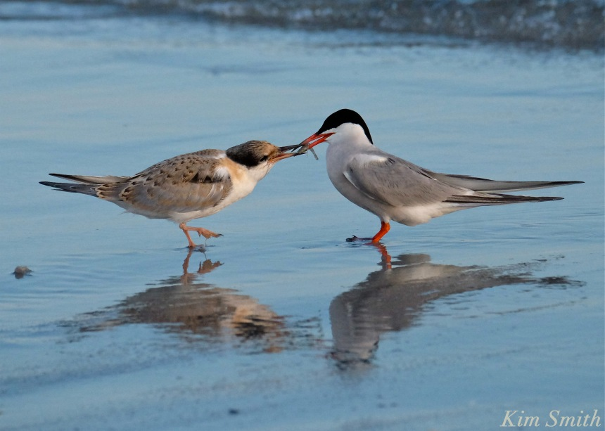 common-tern-fledgling-feeding-1-copyright-kim-smith