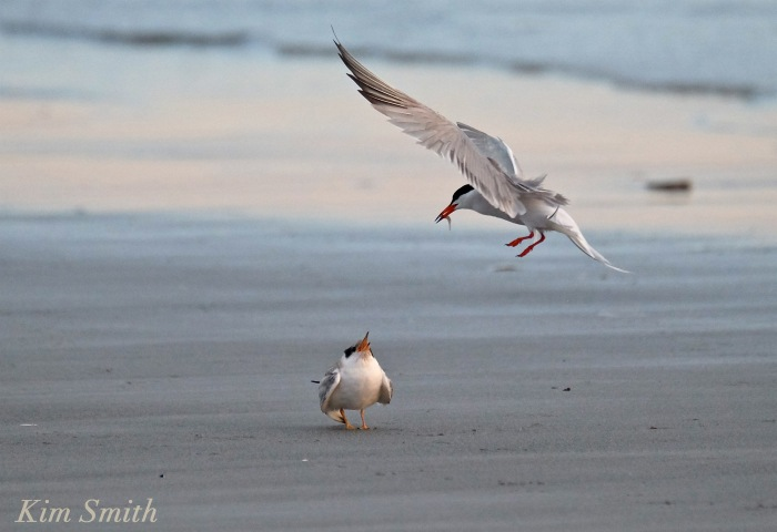 common-tern-fledgling-feeding-copyright-kim-smith