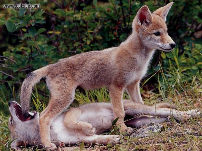 Coywolf's have puppies in February and March. They are cute but do not go near them! If you remove their fear of humans they will geet in trouble.