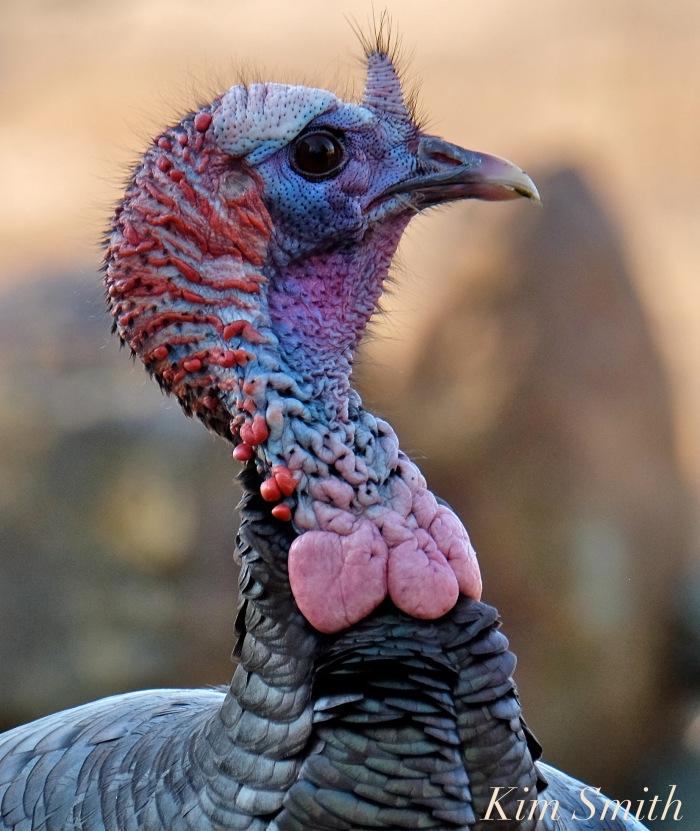 eastern-wild-turkey-male-snood-caruncles-gloucester-ma-2-copyright-kim-smith