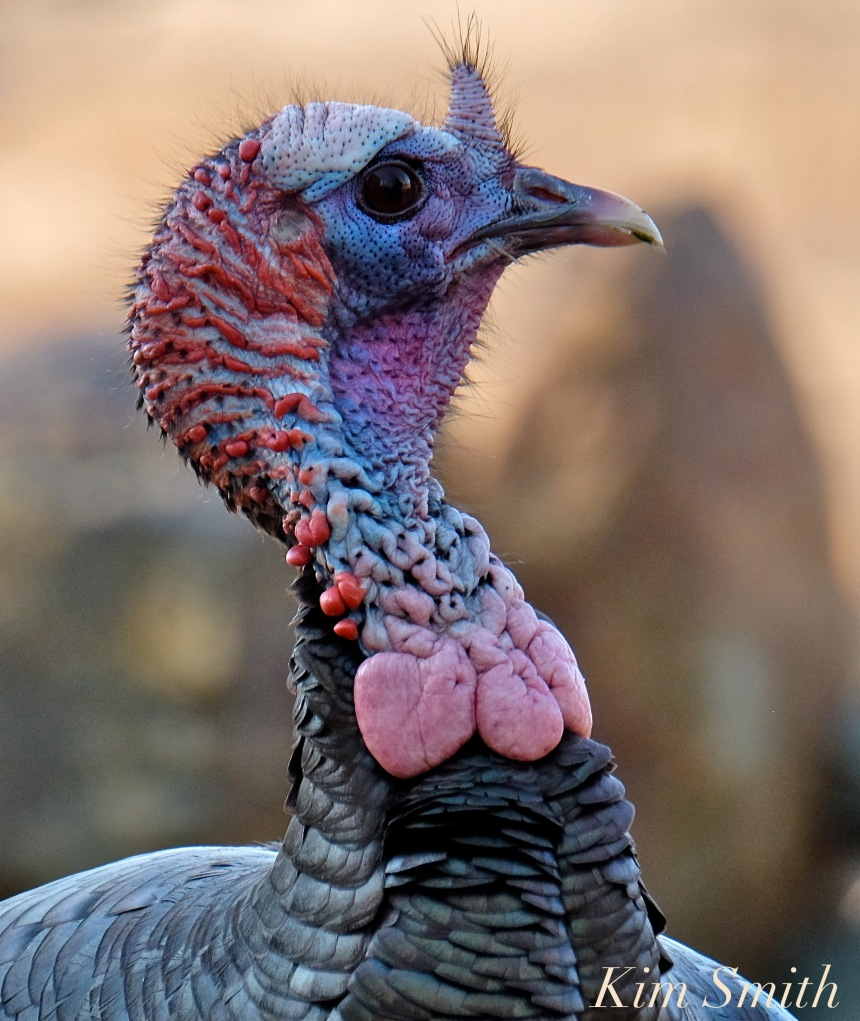 eastern-wild-turkey-male-snood-caruncles-gloucester-ma-2-copyright-kim-smith