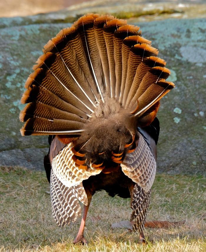 eastern-wild-turkey-male-tail-feathers-gloucester-ma-copyright-kim-smith