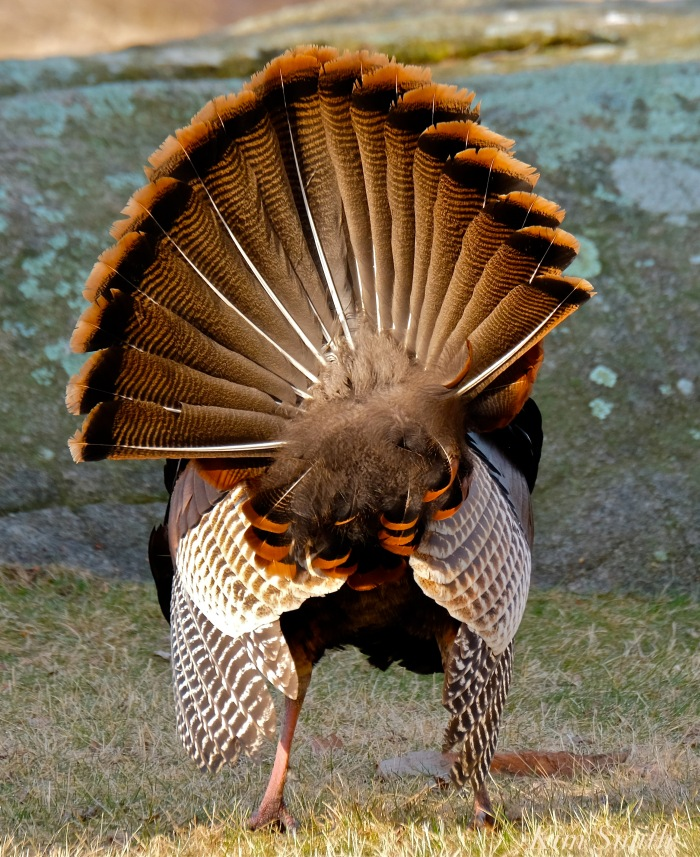 eastern-wild-turkey-male-tail-feathers-gloucester-ma-copyright-kim-smith