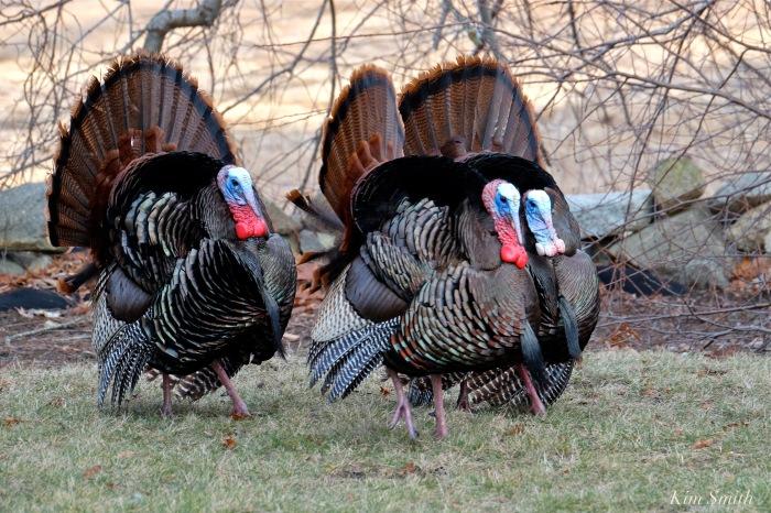 eastern-wild-turkey-males-3-gloucester-ma-copyright-kim-smith