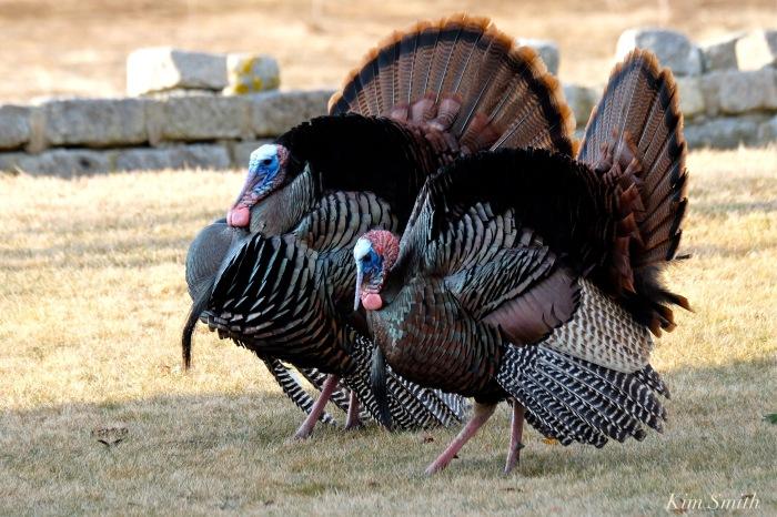 eastern-wild-turkey-males-gloucester-ma-6-copyright-kim-smith