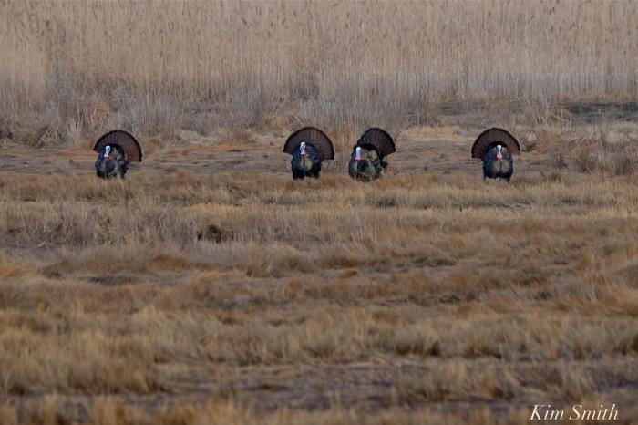 eastern-wild-turkey-males-gloucester-marsh-copyright-kim-smith