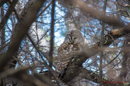 february-19-2017-barred-owl