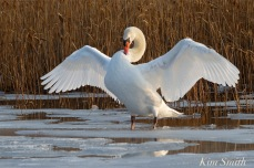 mr-swan-mute-swan-cygnus-olor-copyright-kim-smith
