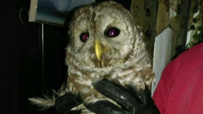 owl-flew-down-chimney-1487519927