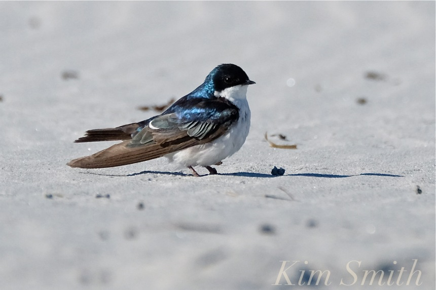 tree-swallow-male-gloucester-massachusetts-copyright-kim-smith