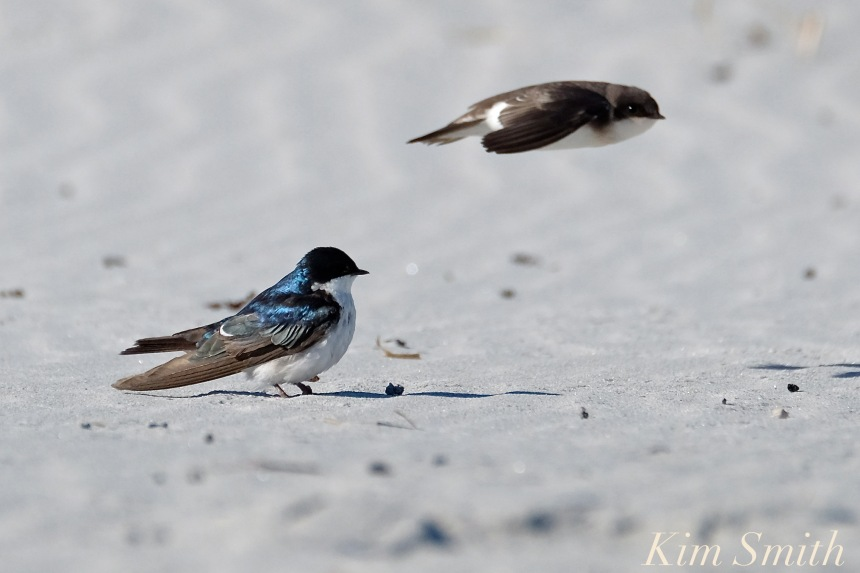 tree-swallows-gloucester-massachusetts-10-copyright-kim-smith