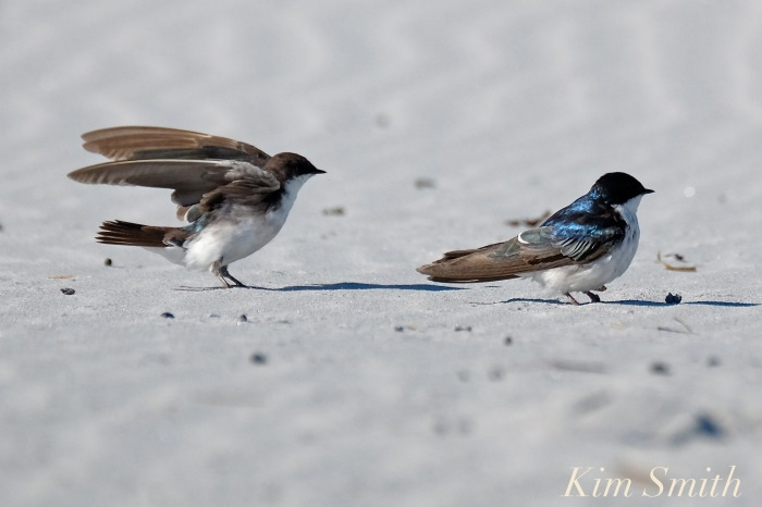 tree-swallows-gloucester-massachusetts-11-copyright-kim-smith