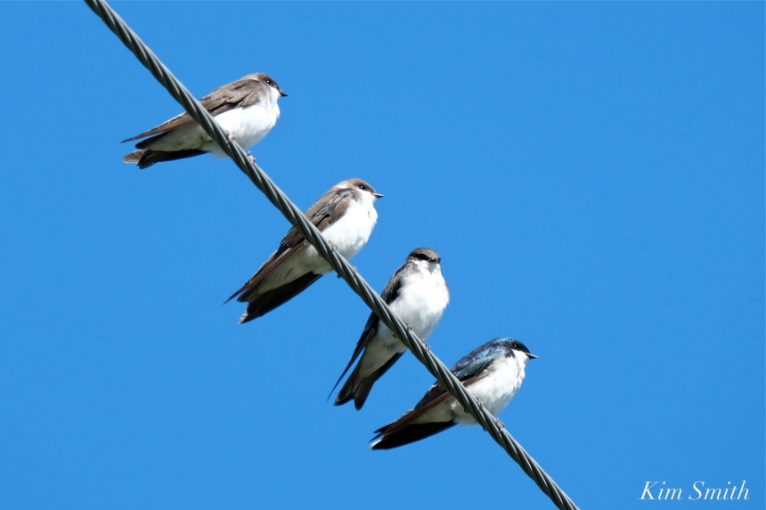 tree-swallows-gloucester-massachusetts-12-copyright-kim-smith