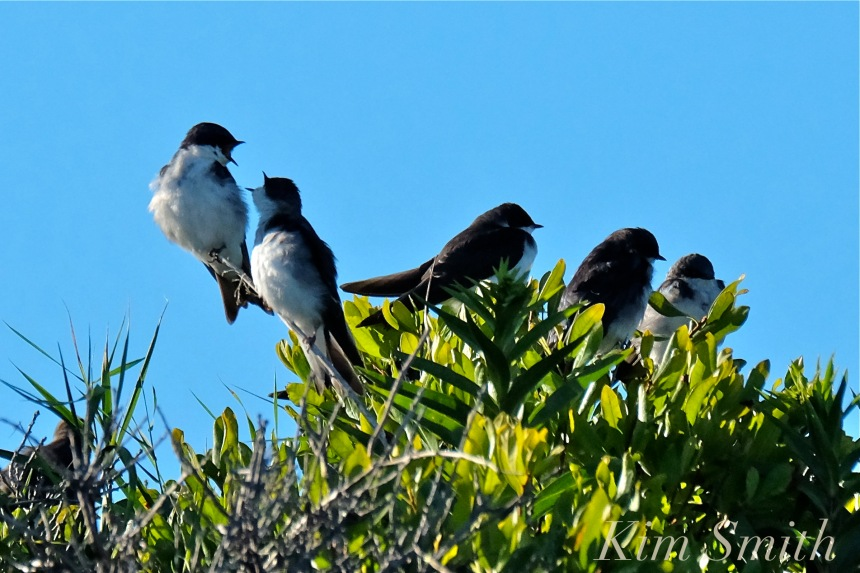 tree-swallows-gloucester-massachusetts-5-copyright-kim-smith