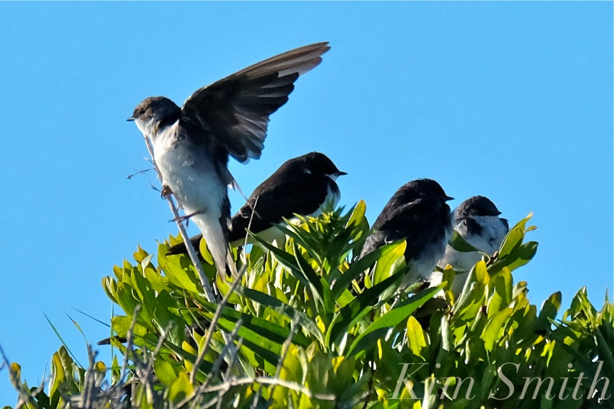 tree-swallows-gloucester-massachusetts-6-copyright-kim-smith