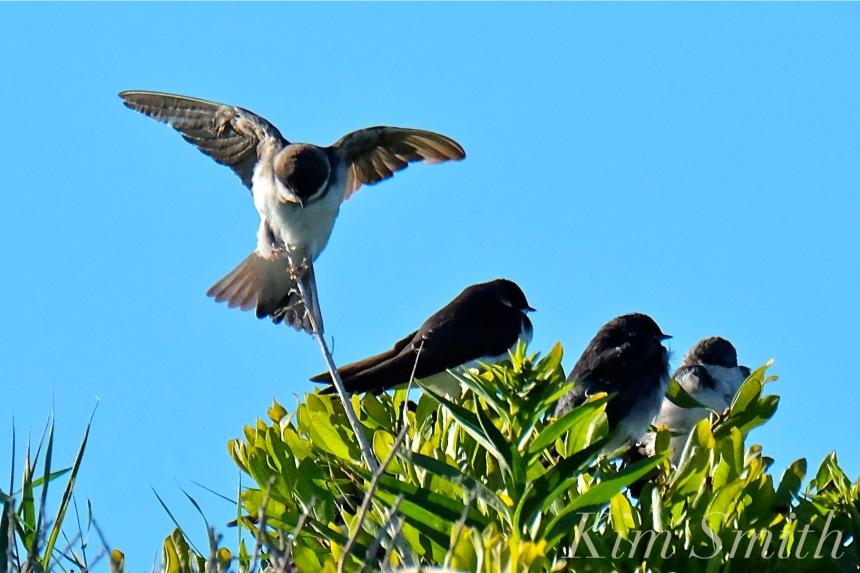tree-swallows-gloucester-massachusetts-7-copyright-kim-smith