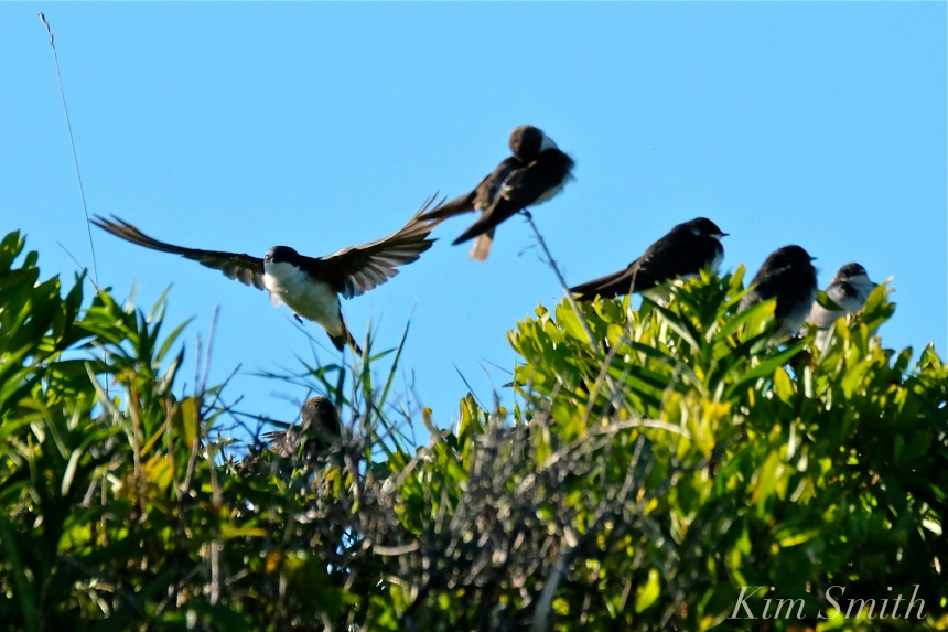 tree-swallows-gloucester-massachusetts-8-copyright-kim-smith