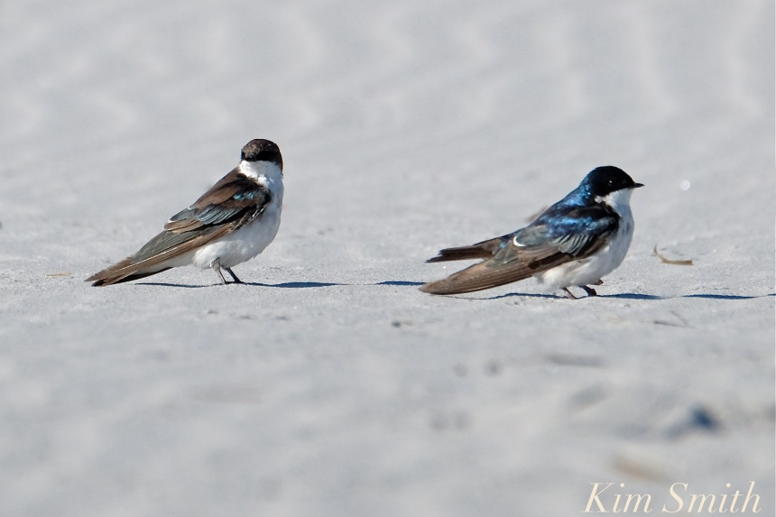 tree-swallows-male-female-gloucester-massachusetts-copyright-kim-smith