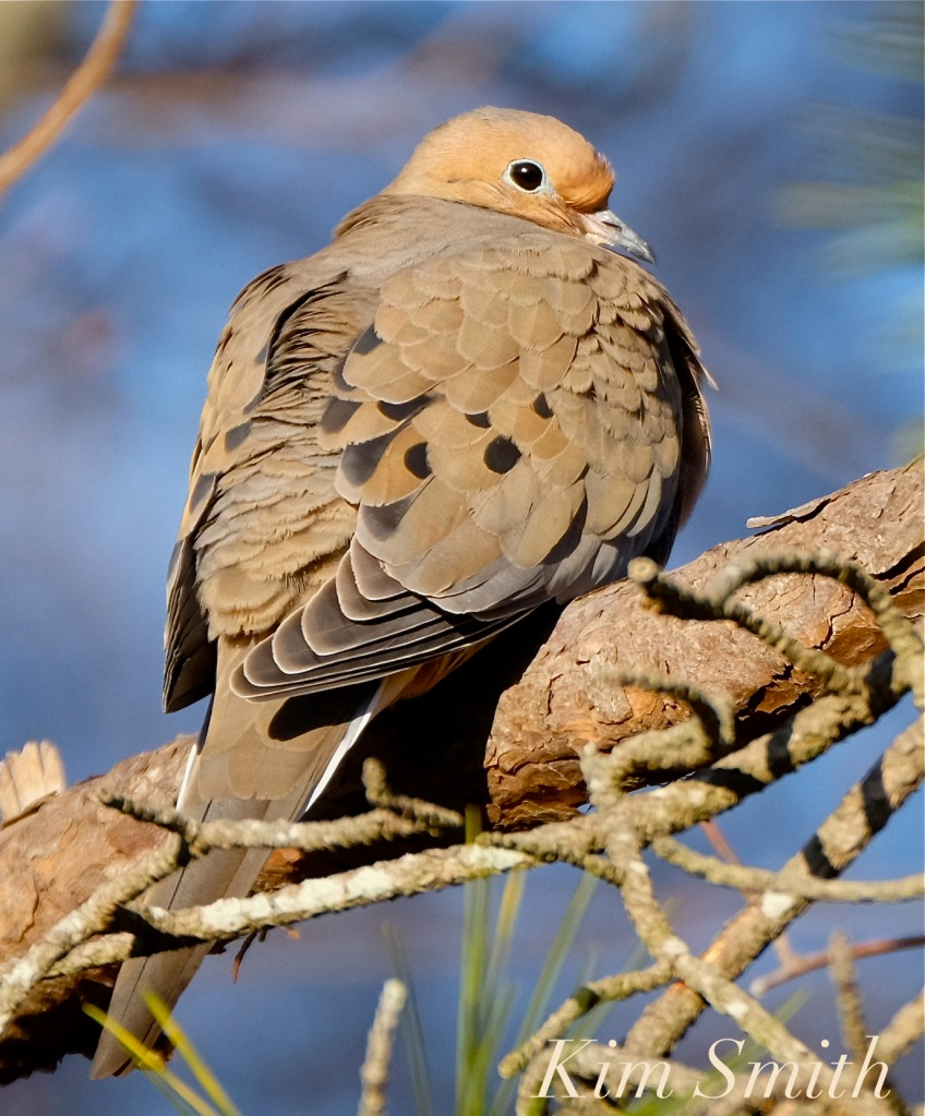 morning-dove-copyright-kim-smith