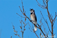 Blue Jay copyright Kim Smith