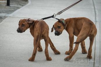 Some 3 mos old Ridgeback pups stopping to say hi!