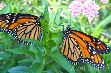 Male and Female Monarch Marsh milkweed Asclepias incarnata copyright kim Smith copy