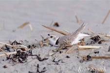 Piping Plover Making Nest Scrape Male -4 copyright Kim Smith