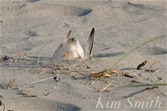 Piping Plover Making Nest Scrape Male copyright Kim Smith
