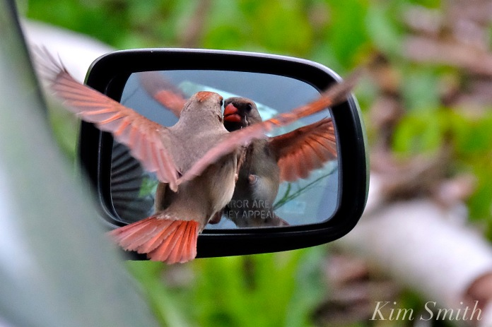 Cardinal Attacking Car Mirror copyright Kim Smith
