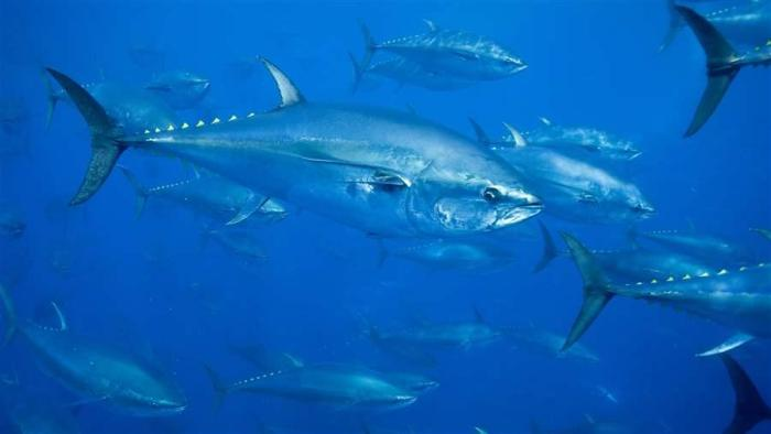 atlanic_bluefin_tuna_richard_herrmann_seapics_16x9