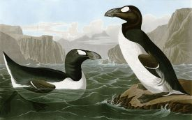 Great-Auk-Images