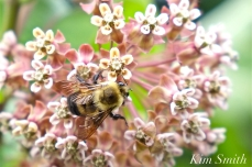 Patti Papows Gloucester Garden Common Milkweed Bee copyright Kim Smith