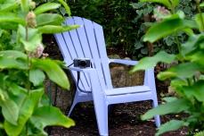 Patti Papows Gloucester Garden Common Milkweed copyright Kim Smith