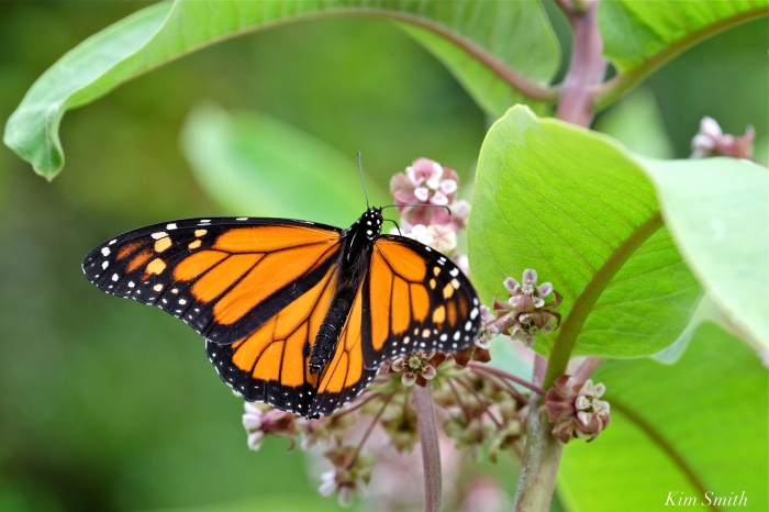 Monarch Caterpillars – Good Morning Gloucester