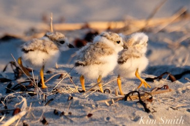 Piping Plover Chicks 13 Days Old copyright Kim Smith