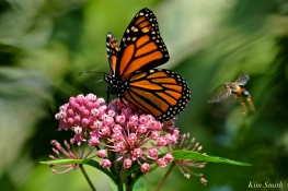 Monarch Butterfly Marsh Milkweed Asclepias incarnata copyright Kim Smith