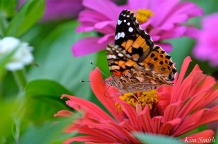 Painted Lady Butterfly Zinnias -3 copyright Kim Smith